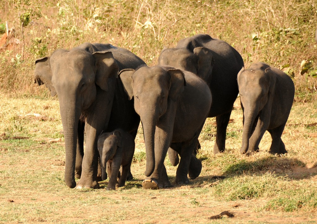 Elephant herd in Uda Walawe National Park Sri Lanka